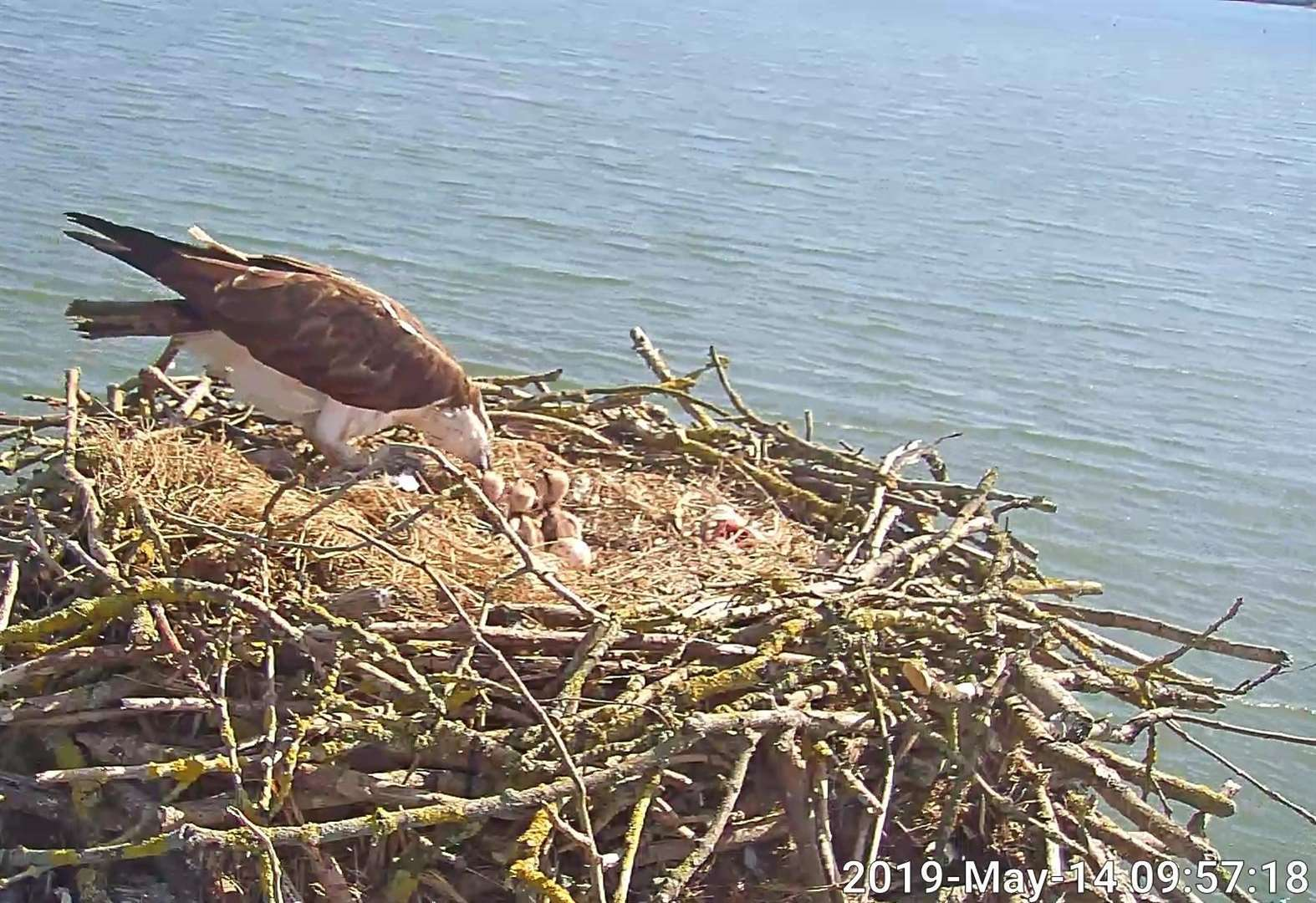 Rutland Osprey Project celebrates arrival of 150th chick